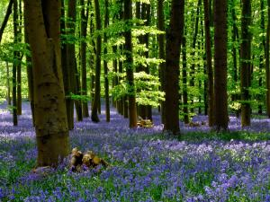 Coton Manor Bluebell Wood Northamptonshire Northants