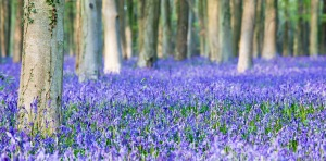 Bluebells - photography by foz