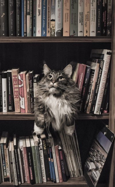 maine-coon-1279572_1920